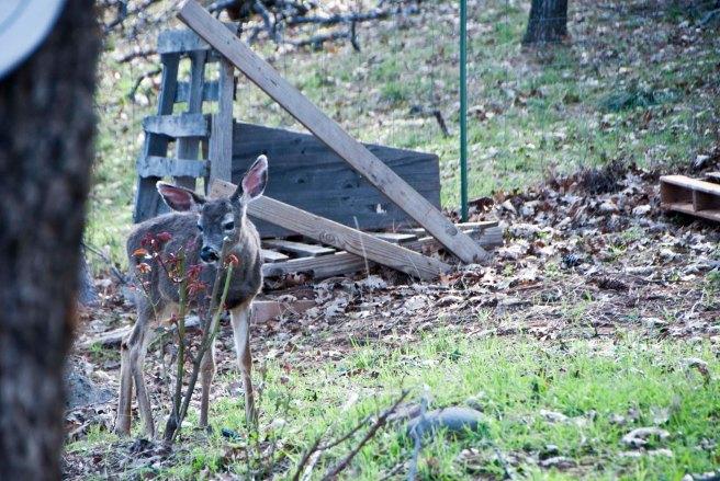 2-11-2015 Deer (5)