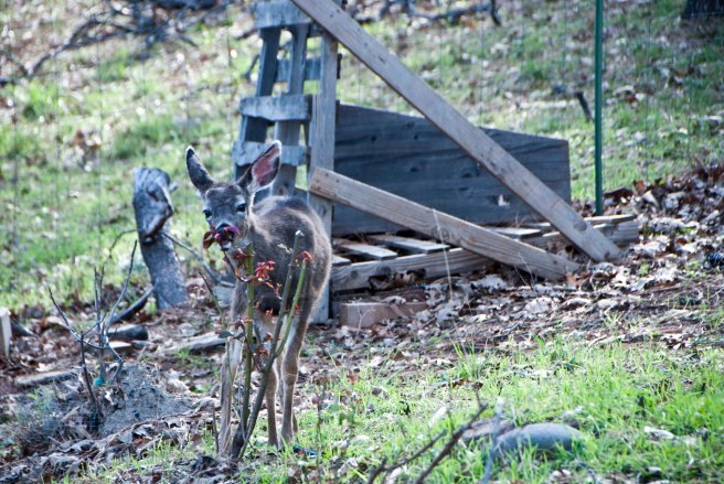 2-11-2015 Deer (6)