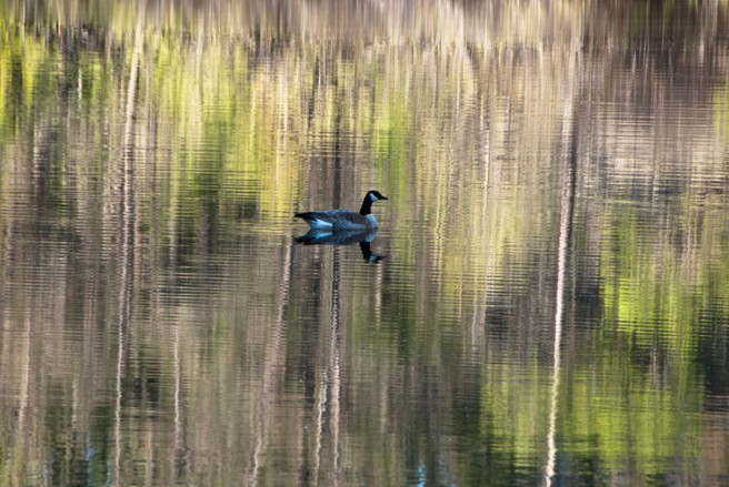 3-19-2015 Goose at Smiley's Pond