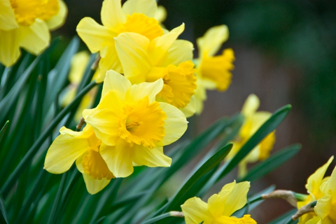 4-5-11 Daffodils (3)