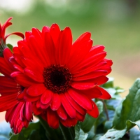 Friday Photo - Gerber Daisy